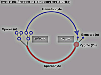 Cycle digénétique haplodiplophasique